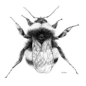 Bumble bee print by Anna Ventura