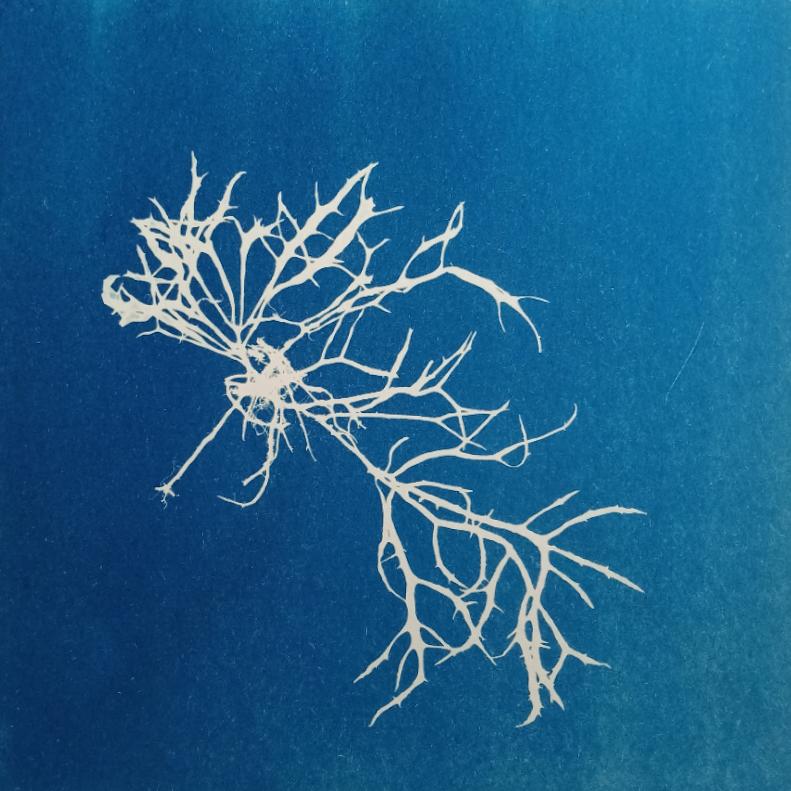 Greetings card, original cyanotype, Bridget Arnold